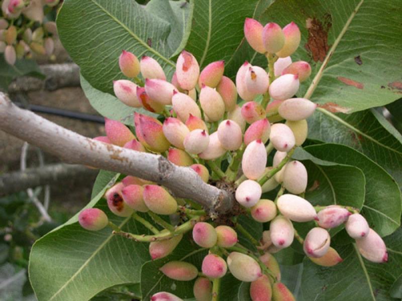 pianta del pistacchio
